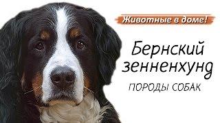 Бернский зенненхунд - породы собак.