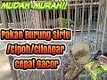 Pakan Burung Sirtu Cito Cipoh Agar Cepat Gacor Murah Meriah  Mp3 - Mp4 Download