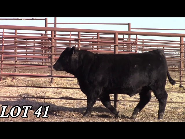 Mead Angus Farms Lot 41