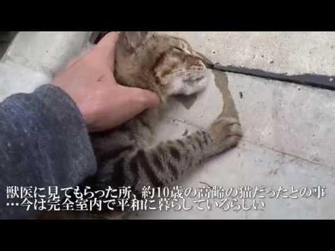 人懐こいメスキジトラ猫、幸せをつかむ The friendly brown tabby got happy