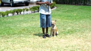 Dog Training Miami Florida Max The Malinois Training In Obedience