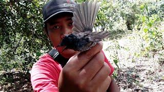 Pikat Burung Cantik Tledekan