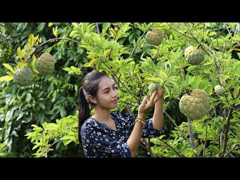 Pick sugar apples in my homeland it is very sweet fruit