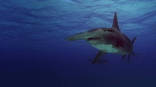 Hammerheads Can Hear Injured Fish From a Mile Away
