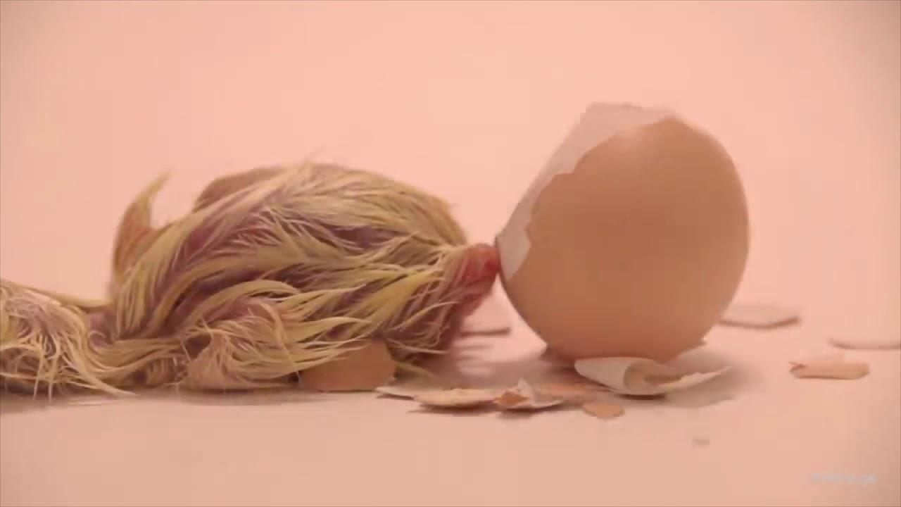 แม่ไก่กกไข่