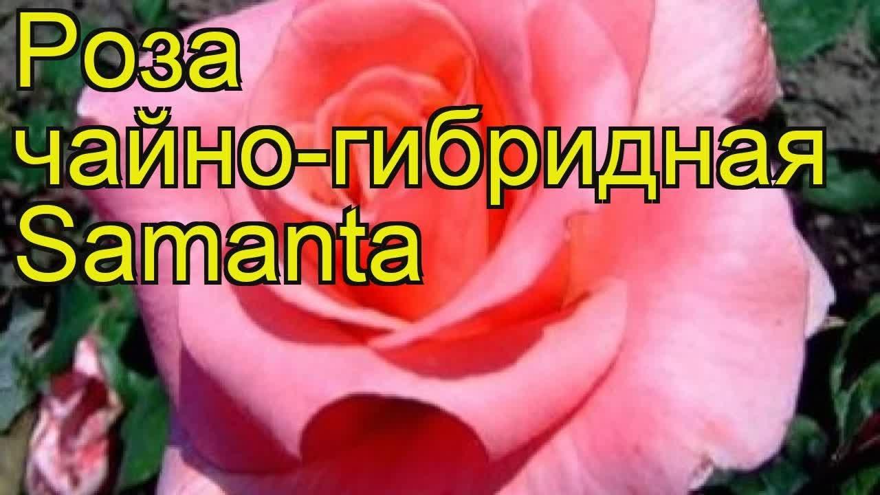 Роза чайно-гибридная Филинг. Краткий обзор, описание характеристик .