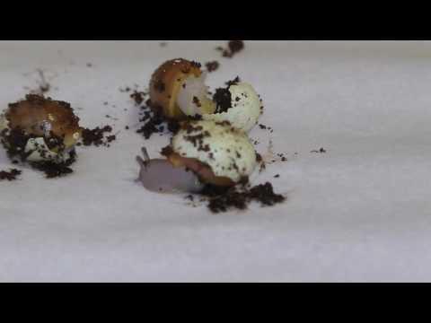 Snail birth. Улитка рождение. Как вылупляются улитки из яйца.