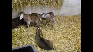 Małe koźlaki | www.koziebrody.com.pl