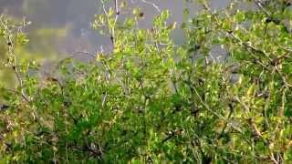 סבכי שחור ראש וסבכי טוחנים  Sardinian Warbler & Lesser Whitethroat