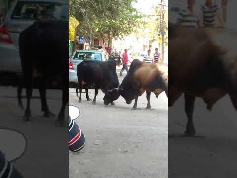 Bull fight near Akhandalmani temple nayapalli Bbsr