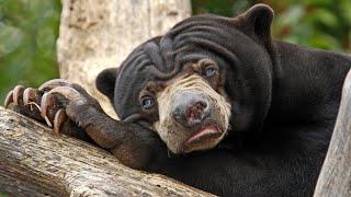 БИРУАНГ - необычный малайский медведь, который ест насекомых и вьет себе гнезда! смотреть онлайн в хорошем качестве - VIDEOOO