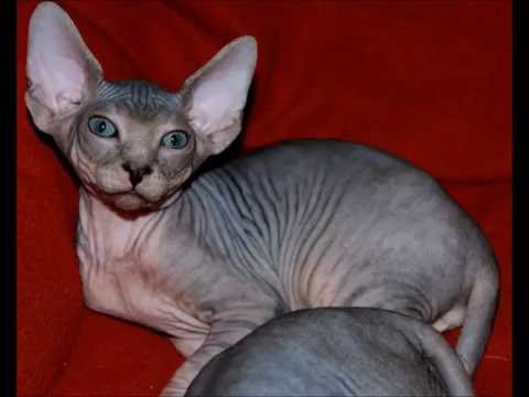 Weird Sphynx Cats Compilation - Amazing Kittens