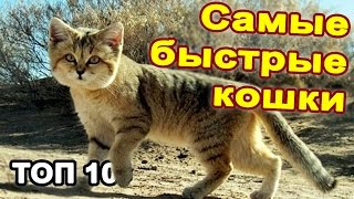 Топ 10 самые быстрые кошки в мире.  Необычные дикие и домашние кошки