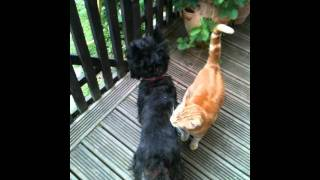 Ginger Cat And Cairn Terrier Playing