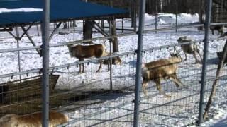 釧路市動物園のトナカイ。 いつもはのんびりしているのに、珍しく走り回...