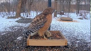 Download Mp3 Bwhq Feeder Ohio, Hawk! 2019 01 14