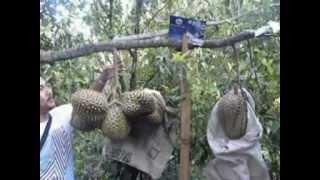 Durian Baru Umur 2 Tahun, Sudah Berbuah Sangat Lebat.mpg