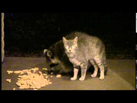 Thumbnail for Cat Video Cat & Raccoon Couple   2014