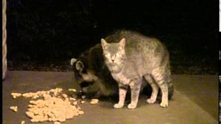 餌を食べるあなたの姿がいとおしくてスリスリ。野生の猫とアライグマのらぶりんちょカップルを激写