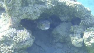 Рыба-еж (желтопятнистый циклихт) спрятался в пещерке.