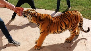 We put a Tiger in our Backyard...