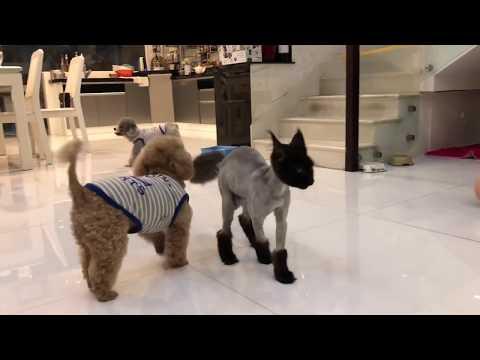 Chó mèo nhà Trấn Thành Hari hoà thuận bên nhau. Trấn Xì nay đã mọc lông vui bên Peekaboo và Bingsu.