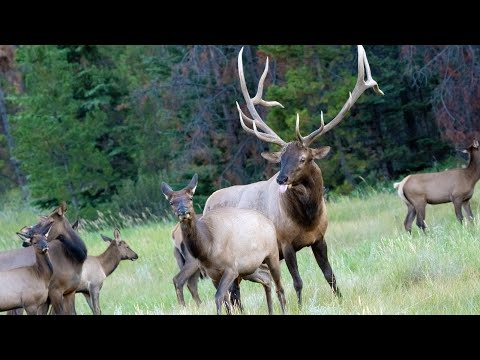 Elk Rut with Lots of Bugling and Aggressive Bull Guarding his Canadian Rockies Harem