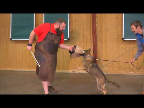 OMG! Tough Young GSD 'Nyra' 5 1/2 Mo Early Protection Training Demonstration Dog For Sale