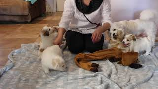 Coton de Tulear Puppies For Sale - Jolie 2/18/21