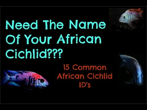 Don't Know What Type Of African Cichlid You Have?| 15 Common ID's