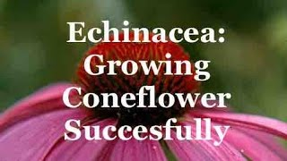 Echinacea: Growing Coneflower Succesfully