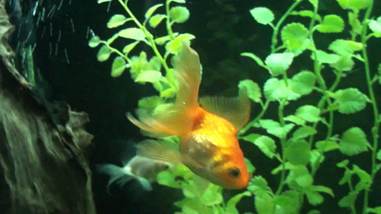Купить аквариумную рыбку в киеве. Хищная рыбка. Мирная рыбка. Донные рыбки. Почему стоит купить аквариумную рыбку у нас. Что получите вы как покупатель: мы следим за рыбкой. Можно сказать, что она более капризная, чем та, что жила в стресе. Можно сказать, что большинство аквариумистов не.