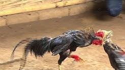 Grausame Hahnenkämpfe auf Bali