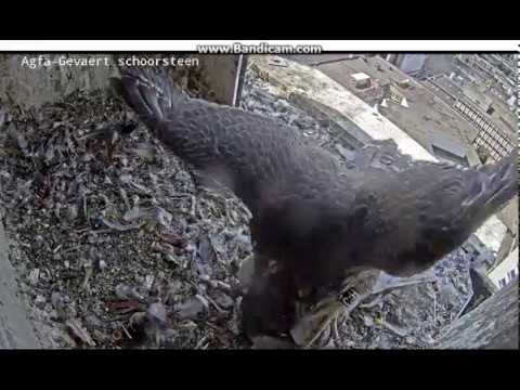 Mortsel B- Pigeon waiting. One yuvenile has dinner, there are two more young - 2018 05 20 15 32