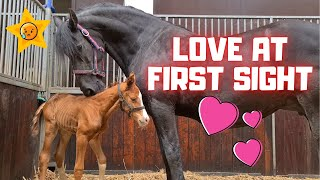 Orphan foal meets foster mother Queen👑Uniek. I've never seen this before! Amazing!   Friesian Horses
