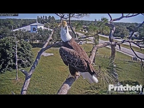 2017/11/19  SWFL Eagles~Alarm calls, someone is above the nest~