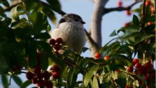 Long-tailed Tit (Aegithalos caudatus) / Schwanzmeise [2]