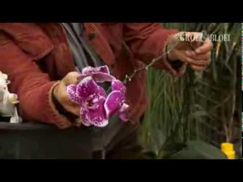 orchideeen-(phalaenopsis)-knippen-en-verpotten