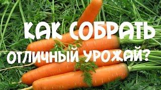 Урожай моркови 2015г.(Урожай моркови, посаженной на ленте, выращивание и уход за морковью в жаркое лето Ссылка на видео: https://youtu.be/..., 2015-08-31T13:11:03.000Z)