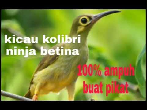 Kicau Kolibri Betina Birahi Cocok Buat Pikat
