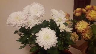 Хризантема  дома. Уйдегі хризантема. Цветок хризантема.