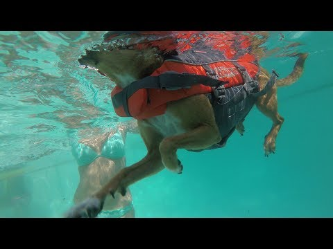 Swimming dog Chiweenie | Loves to be in the water with people