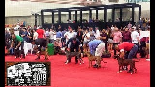 Exposição American Pit Bull Terrier