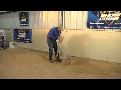 How to Teach Show Lambs to Brace