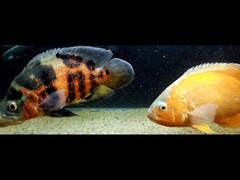 Oscar Fish - Feeding Pellets - Color Enhancement - Food Habits - Secret Tips - Tank Mates