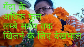 No_161 How to care/ grow marigold/ गेंदा to get more flowers for long time( Hindi/ Urdu)