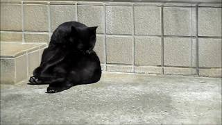 Two black cats are busy licking their bodies.