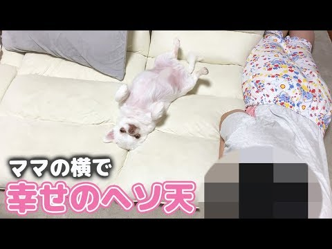 ママの横でくつろぐ犬の可愛いヘソ天!チワワのコハク