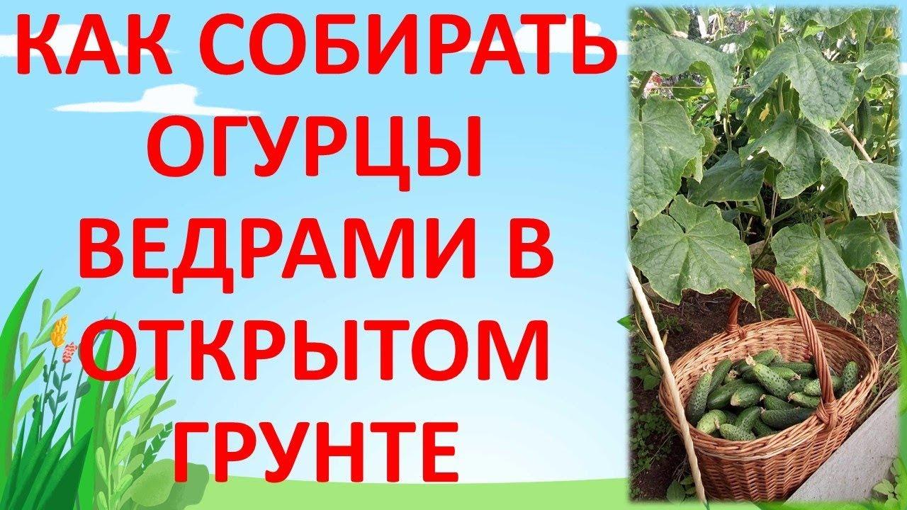 ЧТО ДЕЛАТЬ ЕСЛИ НЕ РАСТУТ ? ОГУРЦЫ В ОТКРЫТОМ ГРУНТЕ. Как выращивать огурцы.