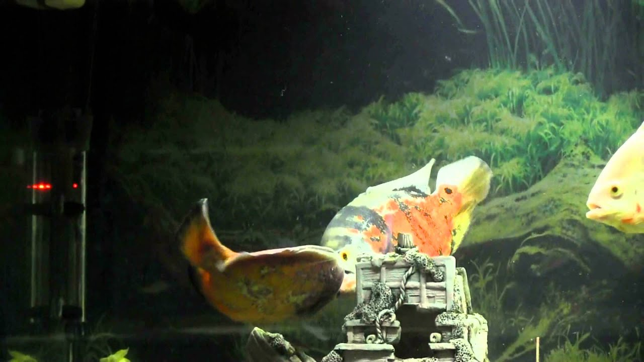 Oscar fish fighting youtube for Ktp fishing report